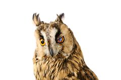 Long-eared Owl isolated on white Stock Images