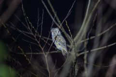 Long-eared Owl in Japan Royalty Free Stock Photos