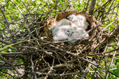 Long-eared Owl Little chicks in the nest Royalty Free Stock Photo