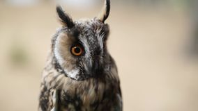 Long Eared Owl. In a forest at cloudy summer day stock video footage