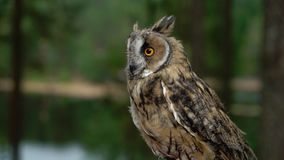 Long Eared Owl