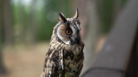 Long Eared Owl. In a forest at cloudy summer day stock video