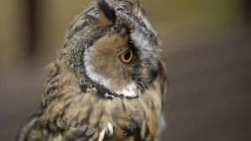 Long Eared Owl. In a forest at cloudy summer day stock footage