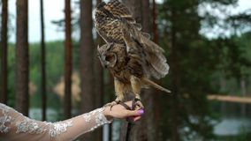 Long Eared Owl. In a forest at cloudy summer day. Bride holding bird on her hand stock video