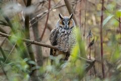 Long-eared Owl. Perched on a branch inside of a thicket. Tommy Thompson Park, Toronto, Ontario, Canada Stock Images