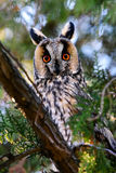 Long-eared owl in natural habitat (Asio otus) Stock Photos