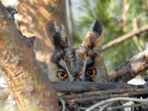 Long Eared Owl on the Nest Frontal View Royalty Free Stock Images