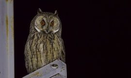Long-eared Owl at Night Looking Curiously. Long-eared Owl (Asio otus) on a lamppost is looking around amazed at night Stock Photos