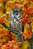 Long-eared Owl with orange oak leaves during autumn. Long-eared Owl with orange oak leaves Stock Photo