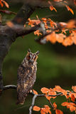Long-eared Owl with orange oak leaves during autumn Royalty Free Stock Photo