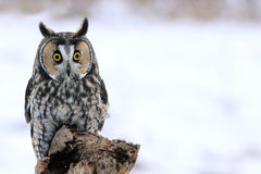 Long-eared Owl on a Perch Royalty Free Stock Photo