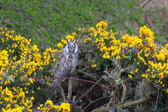Long eared Owl perched amongst gorse and bramble Stock Photography