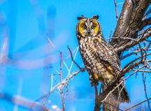 A Long-eared Owl Perched on a Branch stock photo