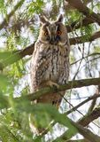 Long-eared owl sits between thick tree branches stock image