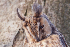 Long-eared Owl portrait Royalty Free Stock Photo