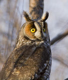 Long-eared Owl portrait Royalty Free Stock Images