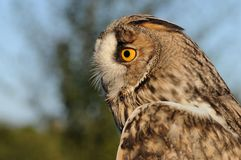 Long-eared Owl. Portrait of an Long-eared Owl Royalty Free Stock Photography