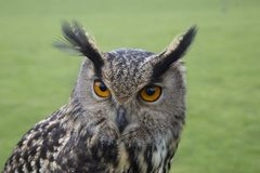 Long eared owl portrait. Close up Stock Photo