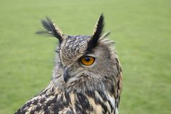 Long eared owl portrait. Close up Royalty Free Stock Photography