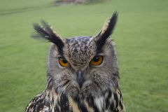 Long eared owl portrait. Close up Stock Photos