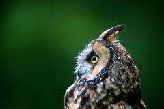 Long-eared owl in profile Stock Images