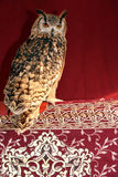 Long-Eared Owl on Red Royalty Free Stock Photo