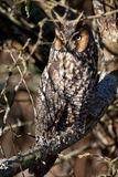 Long Eared Owl. Resting during the morning hours Royalty Free Stock Image