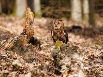 Long-eared owl resting on stump - Strix otus Stock Photography