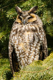 Long-eared Owl. Resting in a tree. Thickson's Woods Nature Reserve, Whitby, Ontario, Canada Stock Photography