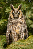 Long-eared Owl. Resting in a tree. Thickson's Woods Nature Reserve, Whitby, Ontario, Canada Royalty Free Stock Images