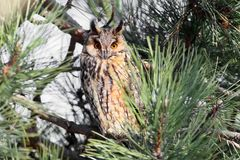 A long-eared owl rests in the dense crown Stock Photography