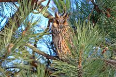 A long-eared owl rests in the dense crown Stock Photos