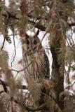 Long Eared Owl, Asio otus stock image