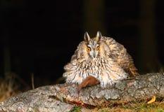 Long eared owl ruffled Royalty Free Stock Photography