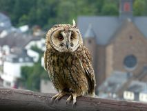 Long-eared owl in the center of falconry royalty free stock image