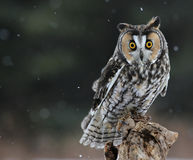 Long-eared Owl Sitting Royalty Free Stock Photo