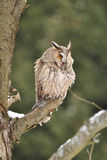 Long-eared Owl sitting on branch. During wind and snowing Stock Photo