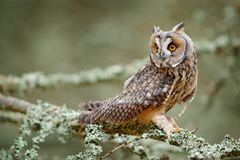 Long-eared Owl sitting on branch in fallen larch forest during autumn. Owl in nature wood nature habitat. Bird sitting on the tree royalty free stock image