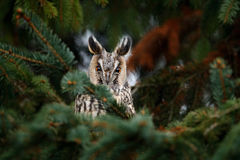 Long-eared Owl sitting on the branch in the fallen larch forest during autumn. Owl hidden in the forest. Wildlife scene from the n Stock Photos