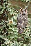 Long-eared Owl sitting on the branch in the fallen larch forest during autumn. Owl in nature wood nature habitat. Bird sitting on stock photos