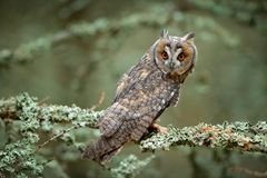 Long-eared Owl sitting on branch in fallen larch forest during autumn. Owl in nature wood nature habitat. Bird sitting on the tree. Long ears. Owl hunting royalty free stock photos