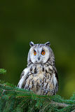 Long-eared Owl sitting on the branch in the fallen larch forest during autumn. Wildlife scene from the nature habitat. Bird on the. Long-eared Owl sitting on the stock photography