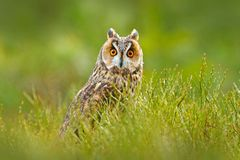 Long-eared Owl sitting in green vegetation in the fallen larch forest during dark day. Wildlife scene from the nature habitat.  Fa. Ce portrait with orange eyes stock photo