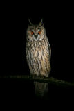 Long-eared owl sitting at night Royalty Free Stock Photography