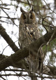 Long-eared Owl sitting on a tree. Long-eared Owl (Asio otus) sitting on a tree Royalty Free Stock Image