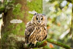 A long eared owl sitting in the trees. Stock Photos