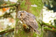 A long eared owl sitting in the trees. Royalty Free Stock Photography