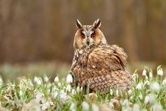 Long eared owl in snowflakes Royalty Free Stock Photography
