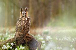 Long eared owl in spring Royalty Free Stock Image