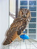 The Long-Eared Owl. Standing on a cage in house Stock Photos